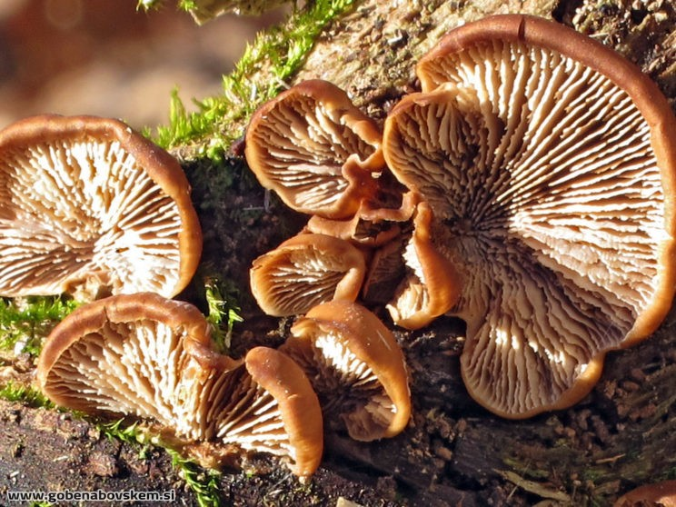 Lentinellus ursinus3