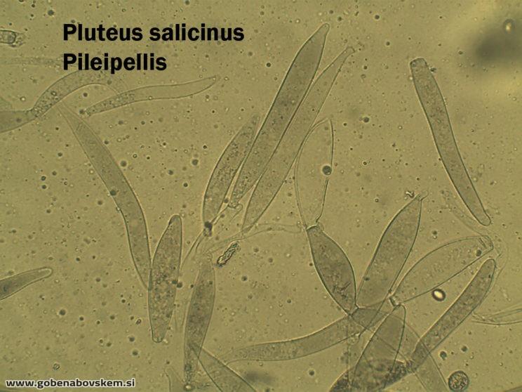 PLUTEUS SALICINUS PP 400X