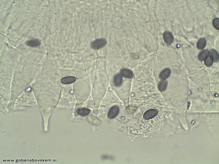 Typhrasa gossypina CHEILO