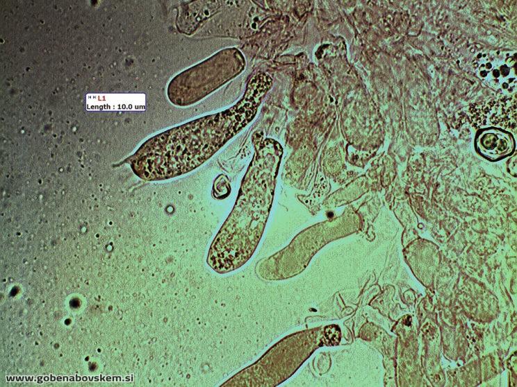 entoloma sericeum5