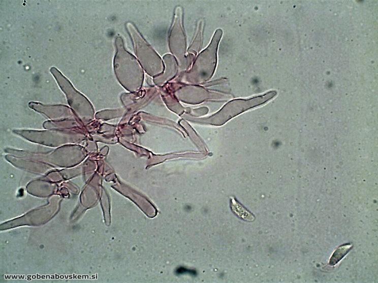 hemimycena cucullata CHEILO5