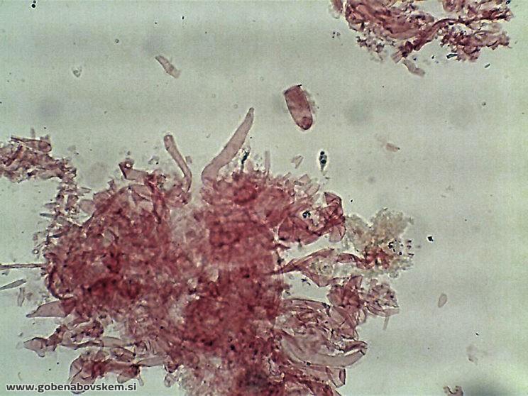 hemimycena cucullata PP
